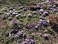 2021-03-06 13 26 14 Crocuses blooming along Cobra Drive in the Chantilly Highlands section of Oak Hill, Fairfax County, Virginia.jpg