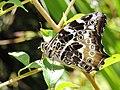 405白色黃斑蔭蝶2(劉威良攝) (12960387763).jpg