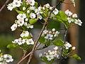 4Cherry blossoms.JPG