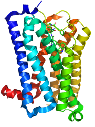5-HT receptor - The 5-HT<sub>1B</sub> receptor as an example of a metabotropic serotonin receptor. Its crystallographic structure in ribbon representation