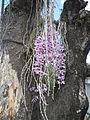 5604Camachile Doña Remedios Trinidad Orchids Bulacanfvf 03.JPG