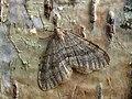 70.105 BF1800 Northern Winter Moth, Operophtera fagata, Male (4146536819).jpg