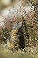 7I6A0186 Marmotta.jpg