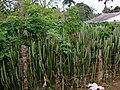 AJM 046 Euphorbiaceae in Cuba.JPG