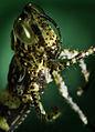 A Baby Grasshopper (2448616918).jpg