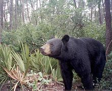 A Florida Black Bear.jpg