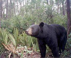 240px a florida black bear