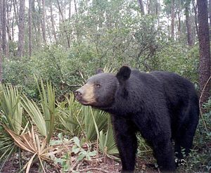 Florida black bear - A Florida black bear in Ocala National Forest