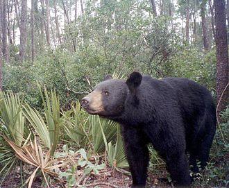 Florida black bear - A Florida black bear in Ocala National Forest