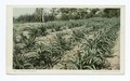 A Pineapple Field, California (NYPL b12647398-66830).tiff