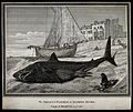 A beached basking shark lying next to a fishing trawler. Etc Wellcome V0021937.jpg
