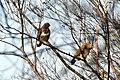 A couple of Buteo buteo (Buzzard) at Hoge Erf near their nest - panoramio.jpg