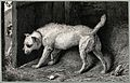 A dog hiding behind a door in a barn whilst another dog sits Wellcome V0021878.jpg