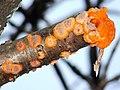 A fungus - Phlebia radiata - geograph.org.uk - 930532.jpg