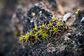 A ring of twisted moss on mature biological soil crust. (8094879823).jpg
