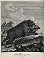 A wild boar on the run. Etching by J.E. Ridinger. Wellcome V0021093.jpg