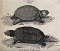 Above, a round tortoise (la ronde); below, a speckled tortoi Wellcome V0021226.jpg
