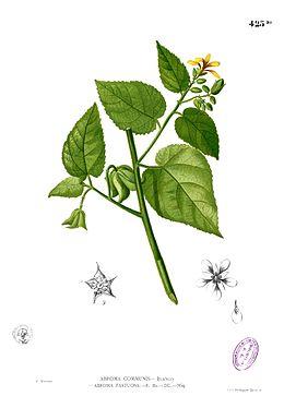 Abroma augustum Blanco2.425b