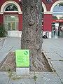 Acàcia de l'estació de Sant Andreu Comtal P1500907.jpg