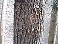 Acacia-stenophylla-bark.jpg