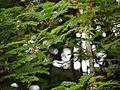 Acacia concinna (5595825400).jpg