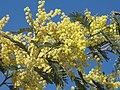 Acacia decurrens (Jardin des Plantes de Paris) 3.jpg