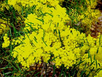 Acacia fimbriata - Image: Acacia fimbriata 02