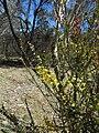 Acacia pravissima (37126326164).jpg