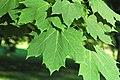 Acer platanoides (Norway maple) 3 (31389706617).jpg