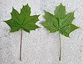 Acer platanoides leaf.jpg