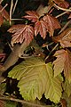 Acer pseudoplatanus 120494641.jpg