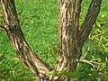 Acer triflorum, Arnold Arboretum - IMG 5930.JPG