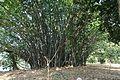 Acharya Jagadish Chandra Bose Indian Botanic Garden - Howrah 2011-01-08 9794.JPG