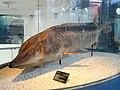 Acipenser sinensis - Kunming Natural History Museum of Zoology - DSC02593.JPG