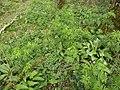 Aconitum napellus plant (06).jpg