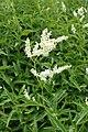 Aconogonon alpinum kz04.jpg