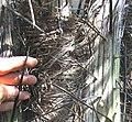 Acrocomia mexicana-spines.jpg