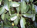 Acronychia littoralis - leaves & buds.JPG