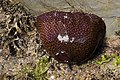 Actinia fragacea (Strawberry Anemone).JPG