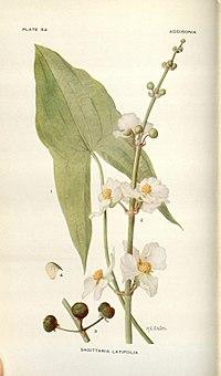 Addisonia (PLATE 054) (8577487608).jpg