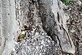 Adina cordifolia 1zz.jpg