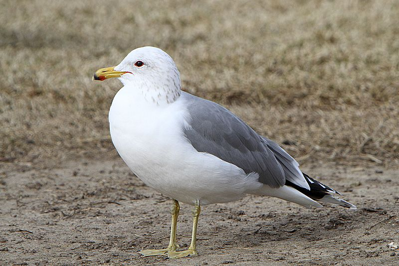 Файл:Adult California gull.jpg