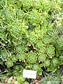 Aeonium balsamiferum - University of California Botanical Garden - DSC08949.JPG