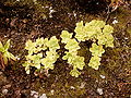 Aeonium goochiae (Barlovento) 05.jpg