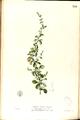 Aerva lanata Blanco2.354-original.png