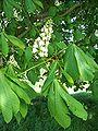 Aesculus hippocastanum 23.jpg