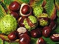 Aesculus hippocastanum fruit.jpg