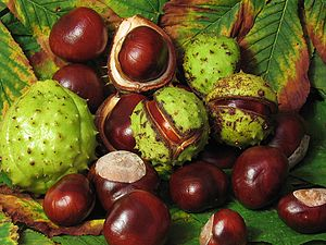 Aesculus hippocastanum - A selection of fresh conkers from a horse-chestnut
