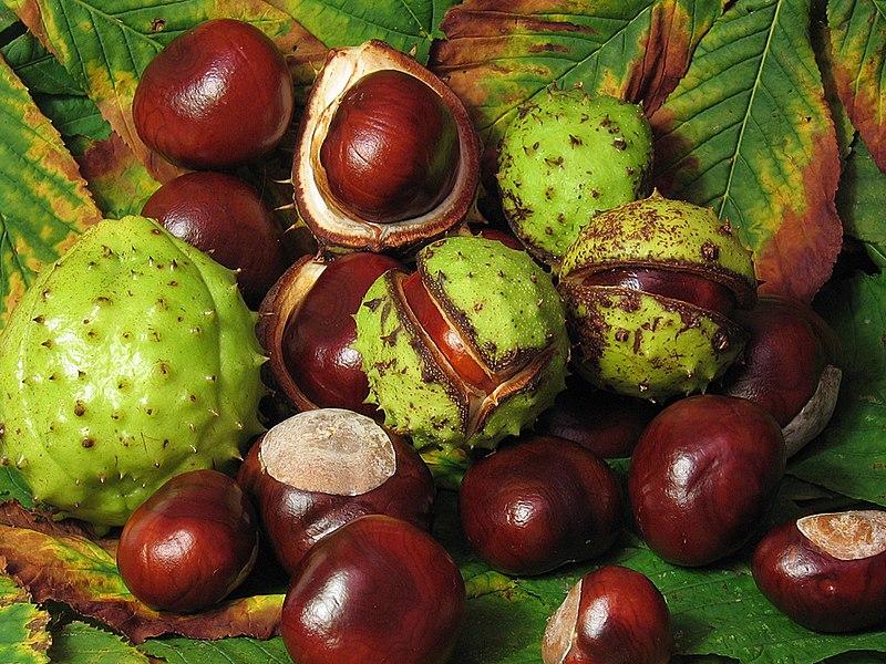 File:Aesculus hippocastanum fruit.jpg