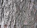 Aesculus hippocastanum textura del tronco.jpg